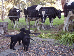 Markable Curly Coated Retriever puppies, socialising with some cows.