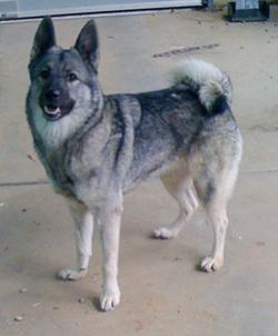 Mooch the Norwegian Elkhound
