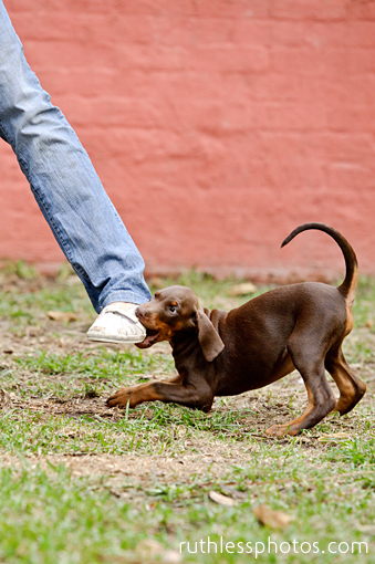 Red Dobermann puppy chewing person's foot.