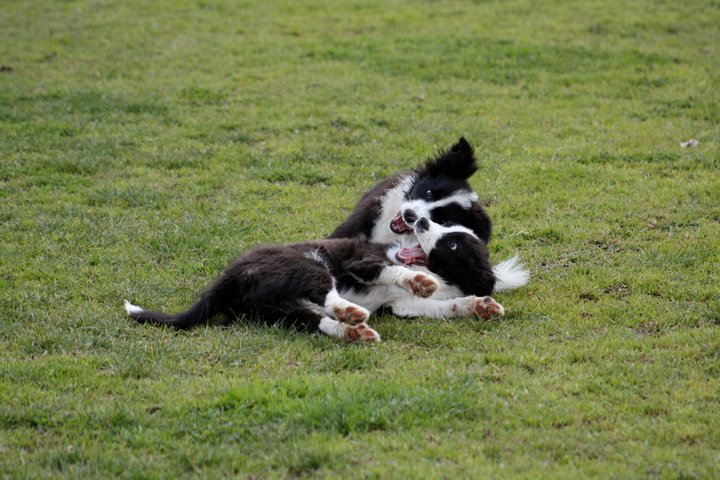 Two border collie puppies playing.