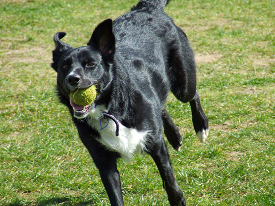 Black and white working cross breed runs with a tennis ball in mouth.