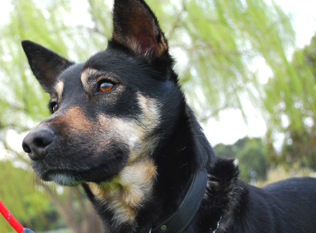 Kelpie Cross Some Thoughts About Dogs