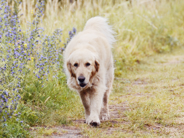Golden retriever, walking next to flowers and towards camera.