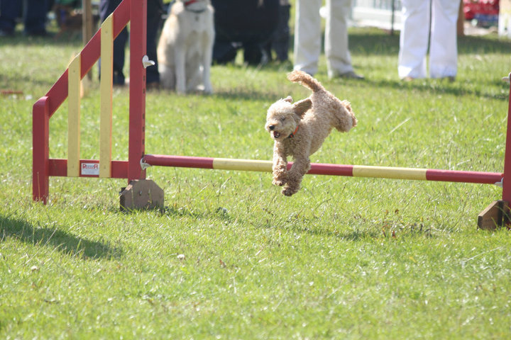 Poodle type dog jumping over an agility course jump.