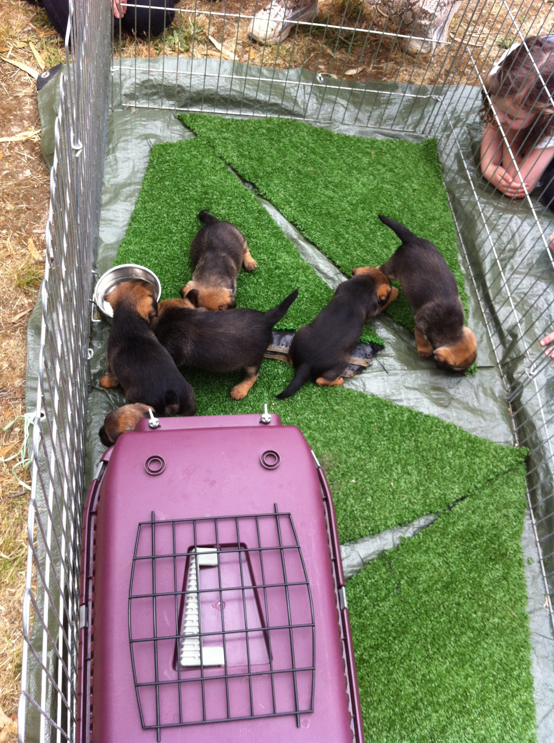 Puppies in a pen with a child peering in.