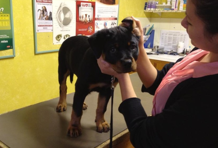 Rottweiler puppy on vet table having a check up.