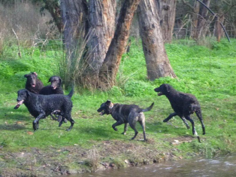 Four curly coated retrievers running with a large brindle crossbreed.