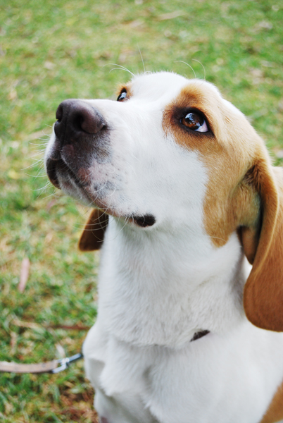 'Maximus' the beagle was in foster care with us, but found himself a new home pretty quick, as you can imagine!