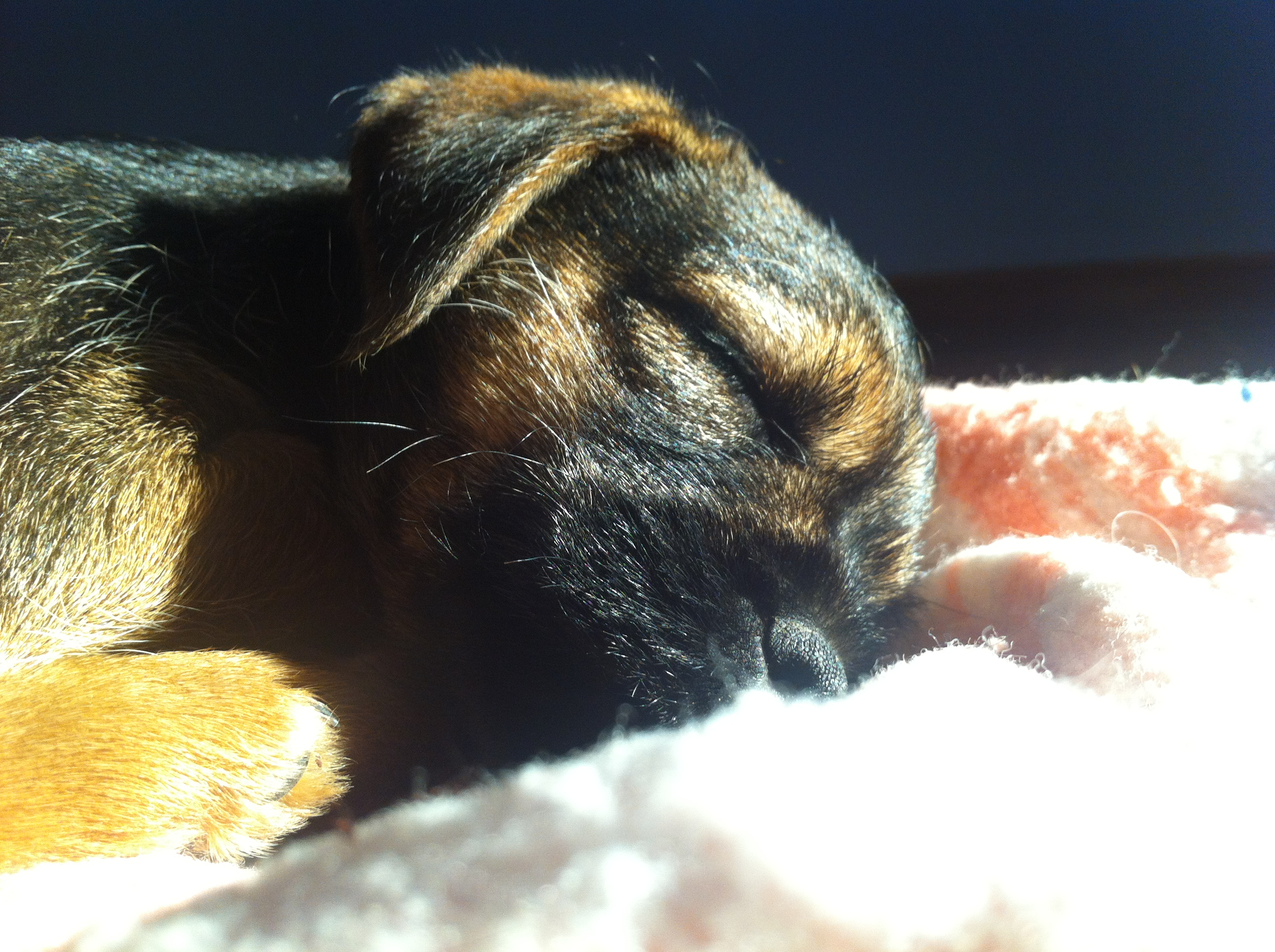 Sleeping border terrier puppy.