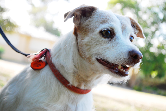 Cindy the Jack Russell Terrier: In the top three aggressive breeds according to this study.