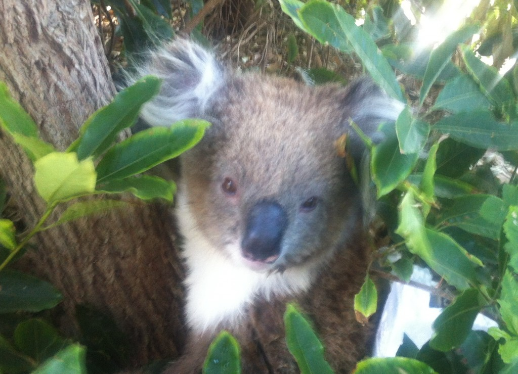 Koala in bushes