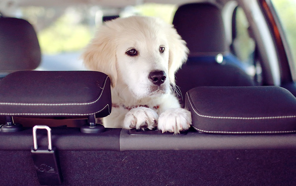 Golden retriever puppy in back seat of car.