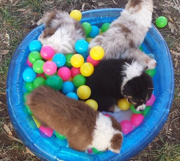 Australian Shepherd puppies playing in a ball pit.