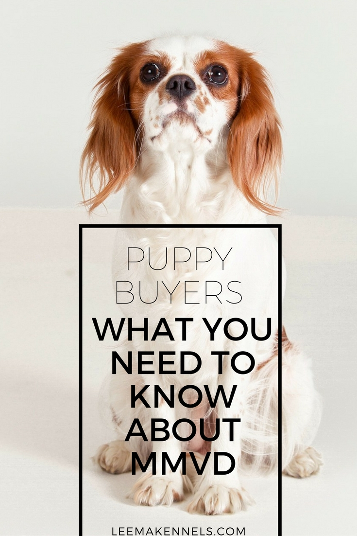 Puppy Buyers What You Need To Know about MMVD in Cavalier King Charles Spaniels