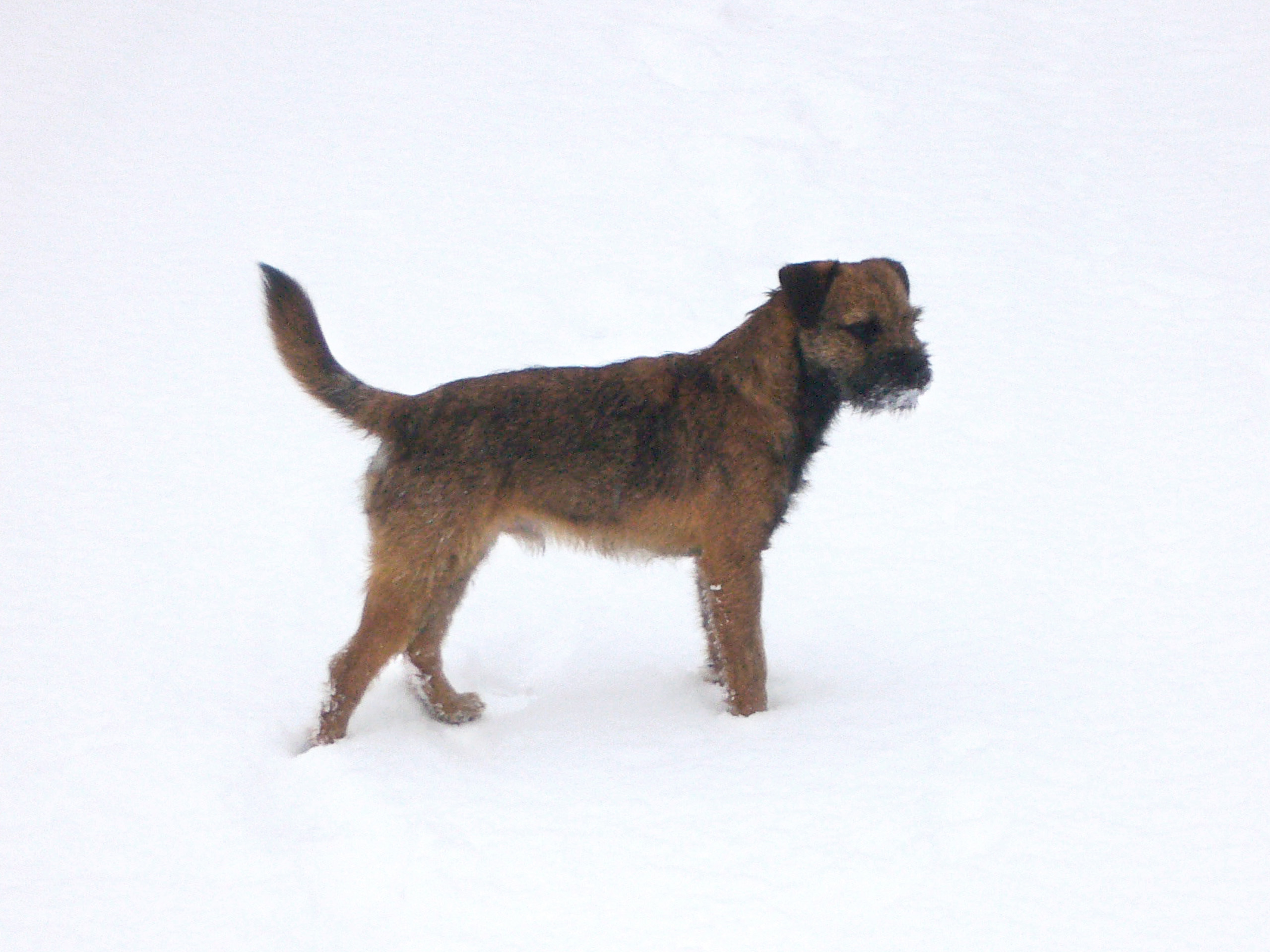Grizzle and tan border terrier standing in show.