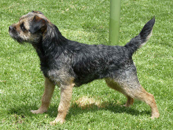 Blue And Tan Border Terrier Bitch In Show Stack Leema