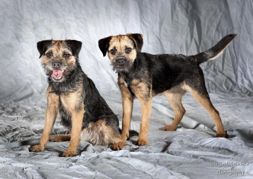 Leema Border Terriers Border Terrier Breeders In South